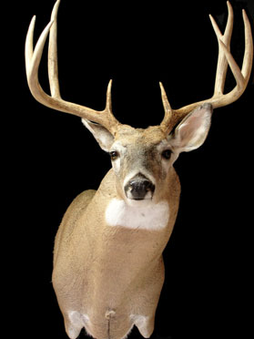 Creative Whitetails Taxidermy Trophy Mount Photo Gallery